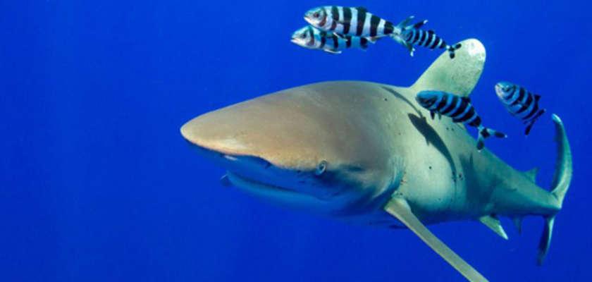 Les requins disparaissent infiniment plus vite que les surfeurs...