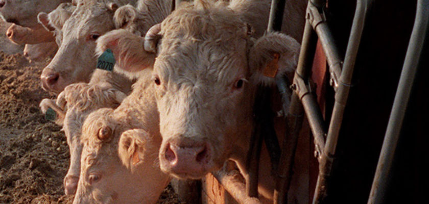 Vache folle: l'Union européenne abandonne les tests de dépistage