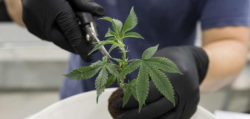 Clivage : Légaliser le cannabis?