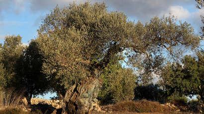 Les oliviers millénaires, un fructueux trafic